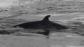 Nem marad életben a Temzén felbukkant bálna