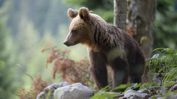 Sorra halnak meg a medvék Romániában