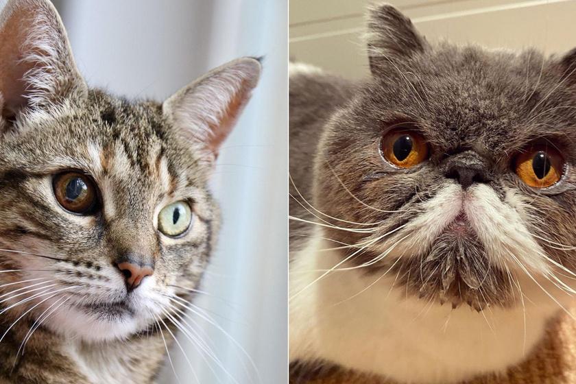 Ezeknek a macskáknak nem átlagos a külseje: pont ettől olyan különlegesek