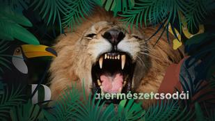 Ezért ásít akkorákat az oroszlán – ráadásul náluk is ragályos az ásítás