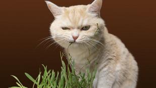 Miért eszik füvet a macska, mikor egyszer ragadozó? Állatorvos válaszol