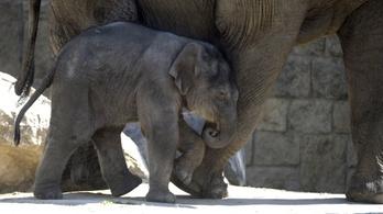 Samunak nevezték el a fővárosi állatkert übercukiságát