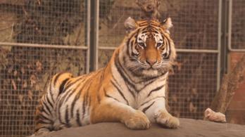 Az örök vadászmezőkre távozott Norbi, a szibériai tigris