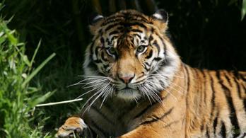Felsértette a szemét bambusszal, meg kellett operálni a tigrist