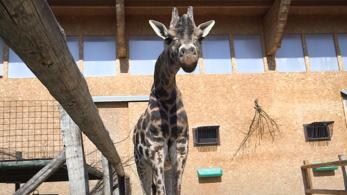 Meghalt Európa legöregebb hím zsiráfja