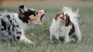 Kik számára idegesítő a kutyaugatás? Az ELTE kutatói adtak választ