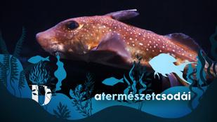 Így néznek ki a tengeri macskák, az óceánok mélyének különös lakói