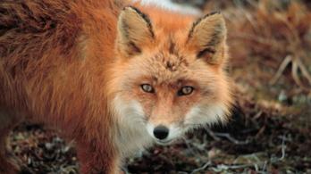 Videón, ahogy egy rókától retteg Nagykanizsa