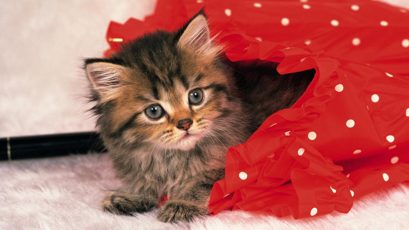 ernyő cica