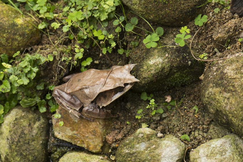 A maláj szarvasbéka (Megophrys nasuta) olyan, mint egy száraz falevél. A Maláj-félsziget lakója, de Szumátrán és Borneón is honos.