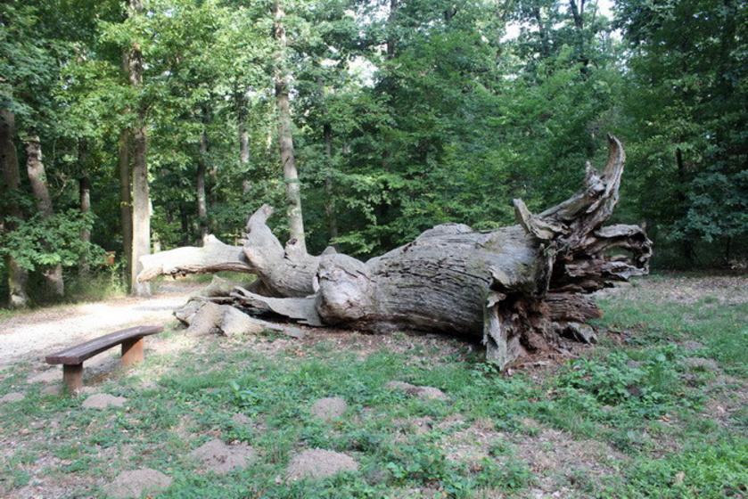 A Farkas-erdő egyik banyafája.
