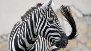 Megérkezett Kevin, a szudán zebra