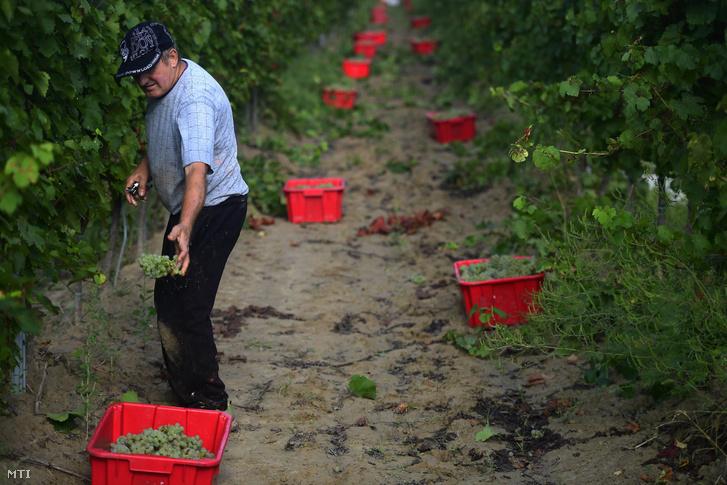 Szüret a monori Lukácsy pincészet szőlőültetvényén 2018. szeptember 6-án