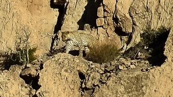 Alig ezer példány él vadon a perzsa leopárdokból, kettőt most sikerült levideózni