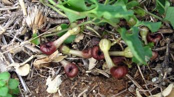 Átverős randival poroztatja be magát egy növény