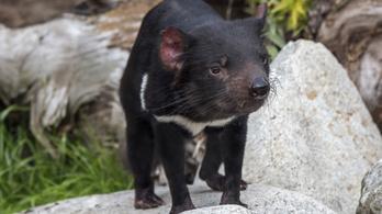 Háromezer év után újra tasmán ördögök születtek Ausztráliában