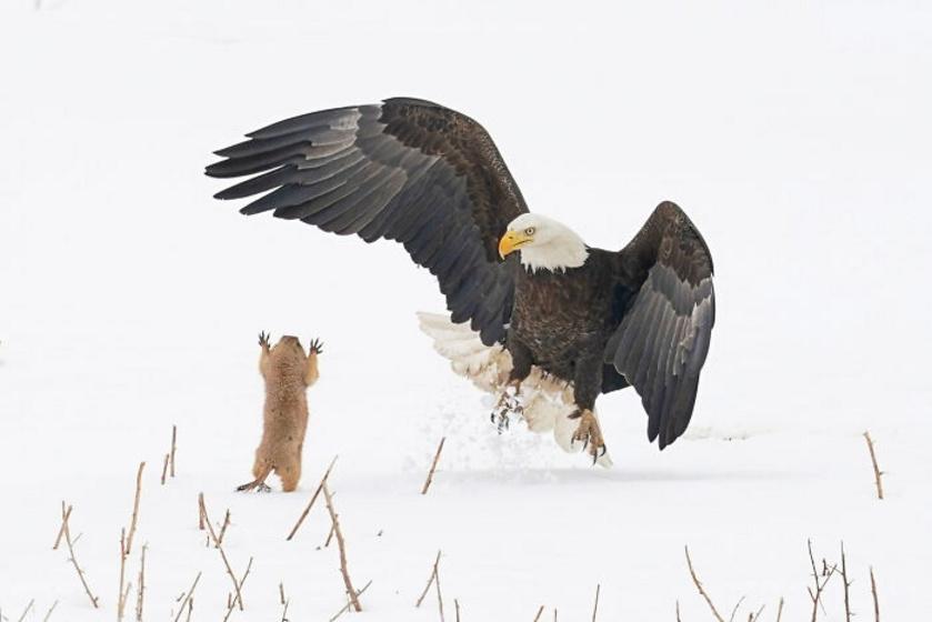 Amikor a sas próbált lecsapni a prérikutyára, az a madár felé ugrott, és eléggé meglepte - olyannyira, hogy el tudott menekülni egy közeli odúba.