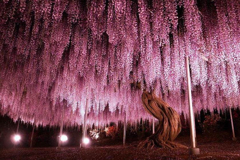 150 éves fa az Ashikaga virágparkban, Japánban. Egyszerűen gyönyörű látvány.