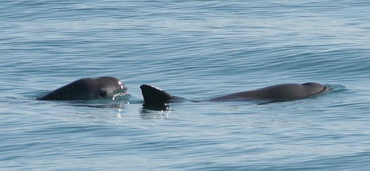 Kaliforniai disznódelfin (Forrás: Wikipédia)