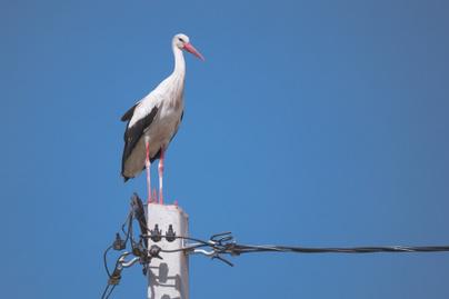 madár-áramütés2