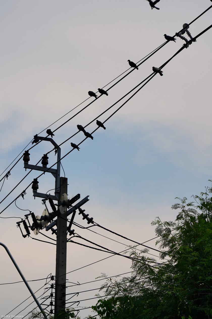 madár-áramütés1