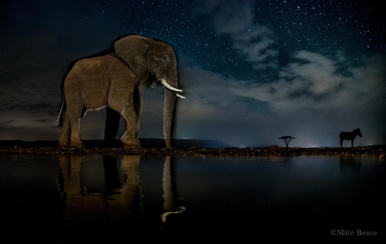A szomját csillapító afrikai elefánt mögött egy zebra sziluettje látszik. Az állatok mozgása                         szellemképes hatást kölcsönöz a több másodperc alatt készülő felvételeknek.