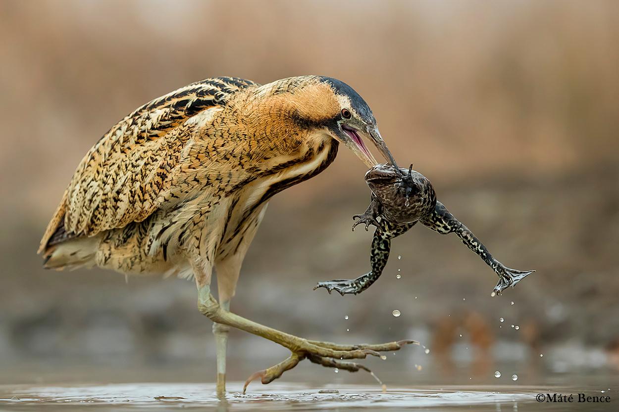 Téli hibernációjából ébredt tavi béka a bölömbika csőrében végezte egy 56 napos fotós maratonom utolsó előtti napján.