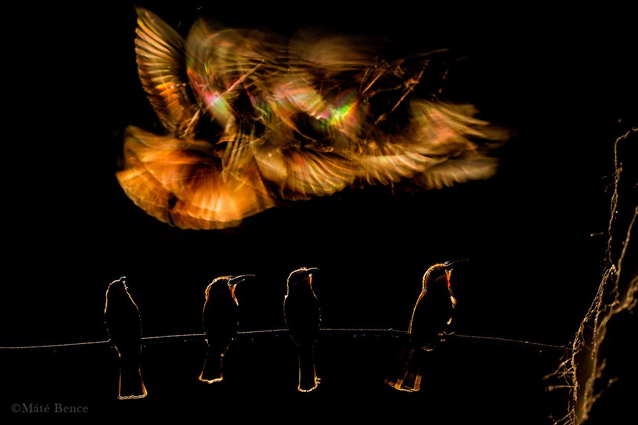 Gyurgyalagok gyülekeznek, mielőtt föld alatti fészkükbe repülnek éjszakázni. A kép                         készítésekor azt a pillanatot vártam, amikor az ágon álló madarak nem mozdulnak meg, míg a háttérben átrepülő fajtársuk elmosódva megjelenő szárnytollai prizmaszerűen szórják szét                         a fényt.