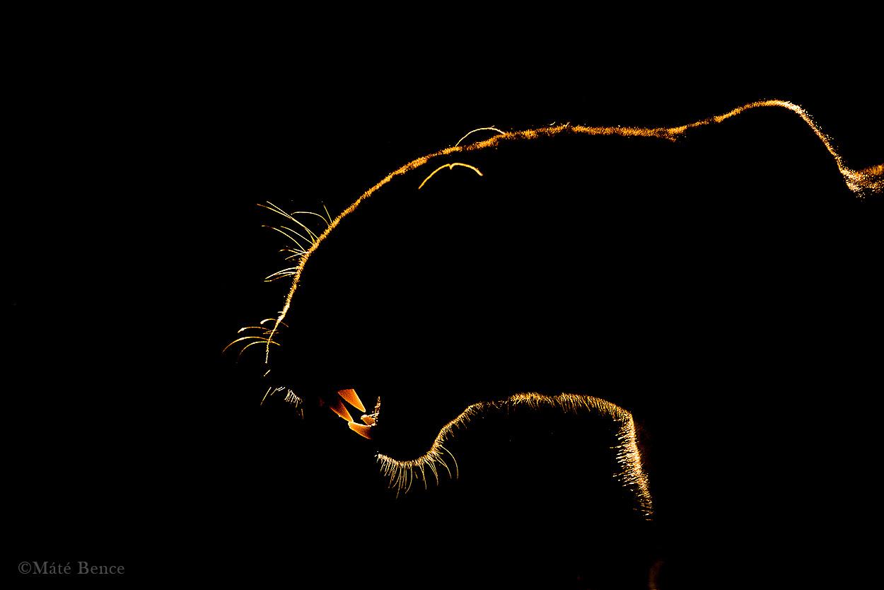 Szemfogait villogtatva igyekszik megvédeni zsákmányát a leopárd. Nem sokkal                         később három hiéna túlereje kergette fel a fára a ragadozót, aki így elveszítette                         táplálékát.