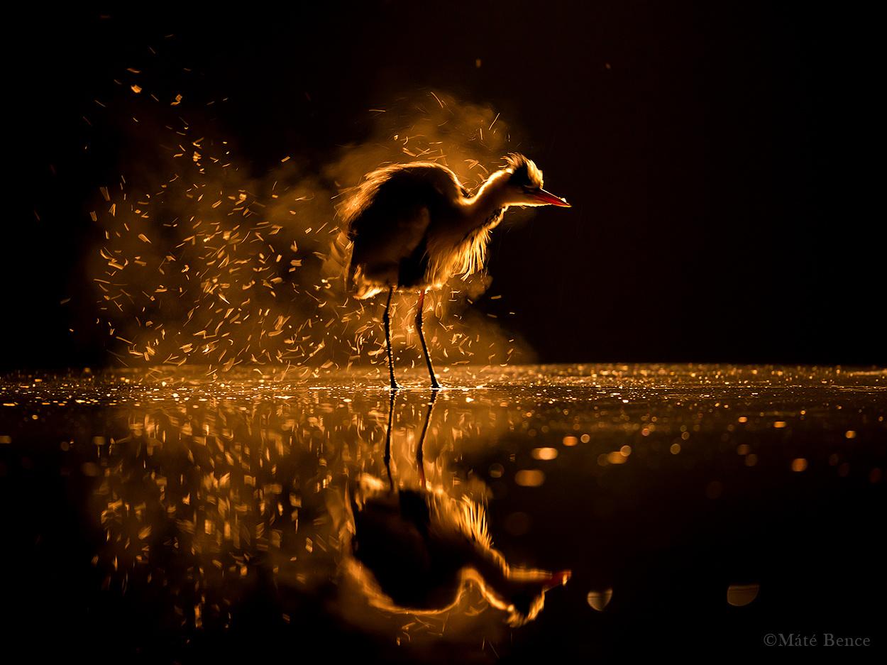 Testét megrázva szabadul meg a szürke gém a tollai között megrekedő portól és                         atkáktól. A madarak tollazatába még fiókakorukban, a fészekben beköltöznek az                         élősködők, amik elhalt állati részekkel és vérrel táplálkoznak.