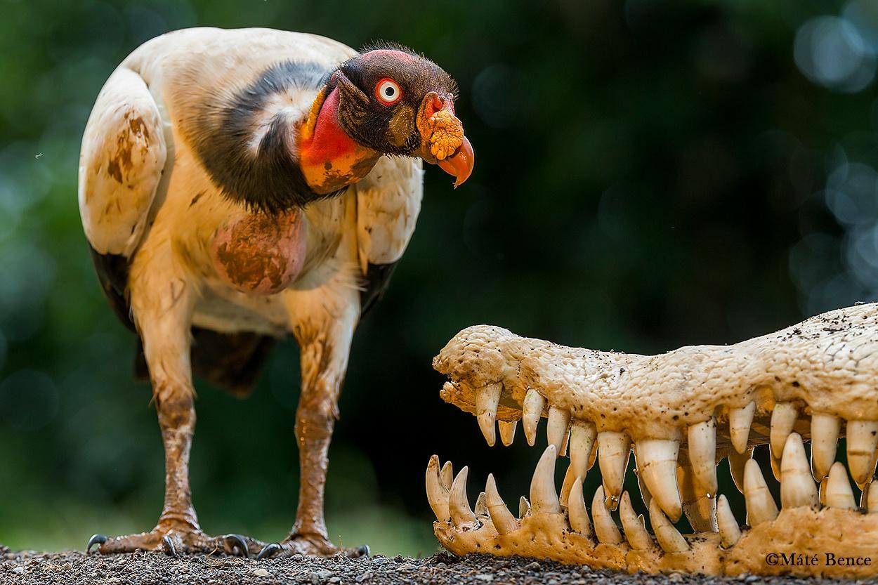Királykeselyű pózol egy hatalmas krokodil koponyája előtt.