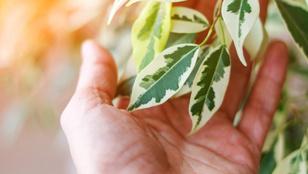 Légtisztító növények a lakásban: mennyit ér valójában a hatásuk?