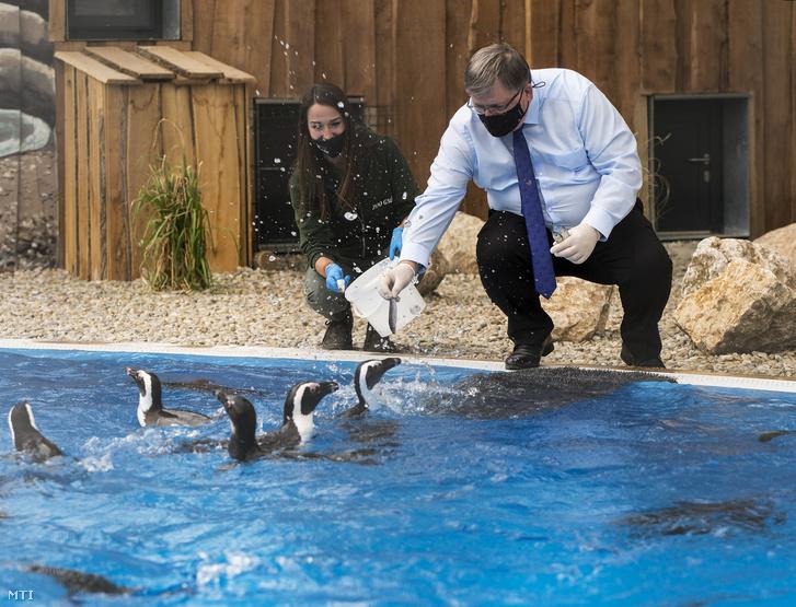Dézsi Csaba András, Győr polgármestere hallal eteti a pápaszemes pingvineket a győri állatkertben a Modern Városok Program részeként megvalósult fejlesztések ünnepélyes átadása napján, 2021. május 12-én