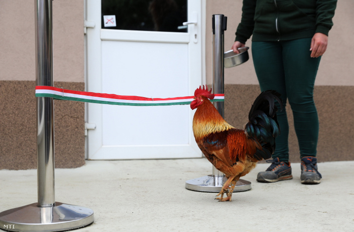 Egy idomított kakas a nemzeti színű szalagot készül lebontani a győri állatkertben a Modern Városok Program részeként megvalósult fejlesztések ünnepélyes átadásán, 2021. május 12-én