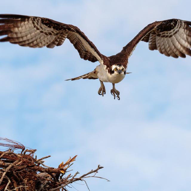 A sas észre sem vette, hogy ingyen fuvarozza az aprócska madarat: kiváló ülőhelyet választott magának