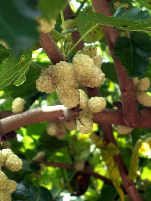 Az eperfa termése