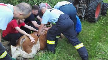 Helikoptert is bevetettek egy elszökött bika befogásához Szlovákiában