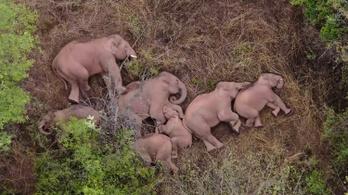 Megpihentek a kínai elefántok az országjáró túrájuk után
