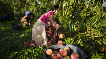 A nettó 260 ezer forint sem elég vonzó leszedni a fáról a gyümölcsöt