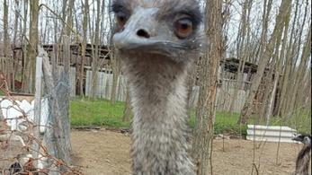 Megszökött egy ferde csőrű emu egy Baja környéki tanyáról