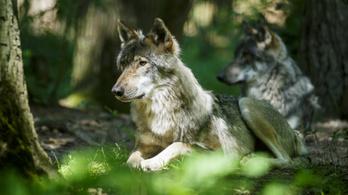 Mégsincs a farkasoknál alfa-hím