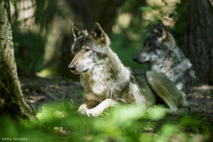 Európai farkas