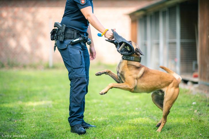 Szimba, egy szolgálati kutya Alsó-Szászország tartomány tulajdonában lévő belga juhászkutya szolgálati kutyavezetőjével edz