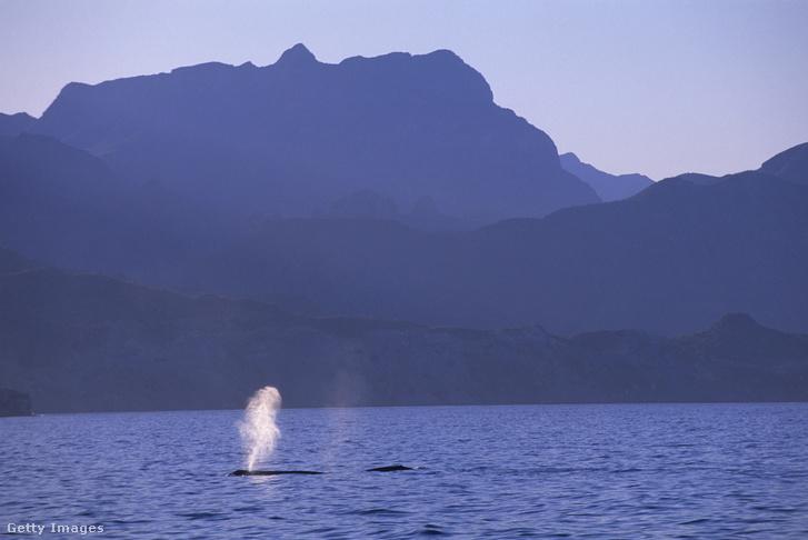 Az újonnan fellelt faj, a törpe kék bálna nagy testvére, a hagyományos kék bálna Ausztrália partjainál