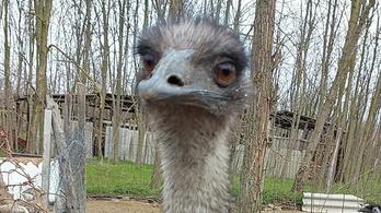Megkerült az elveszett emu