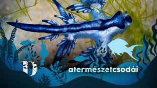 Sárkányok nem csak a mesében léteznek, bár a valóságban aprócskák: íme a kék sárkány