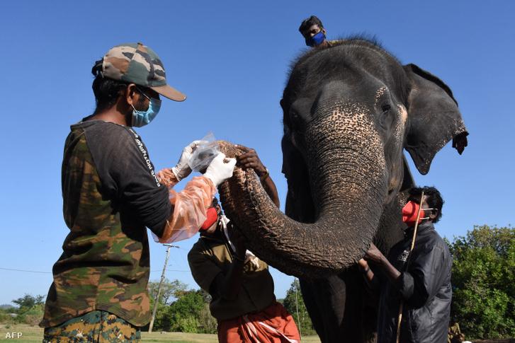 Mintát vesznek egy elefánttól 2021. június 8-án a theppakadui rezervátumban