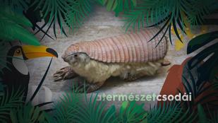 Ez a különleges, cuki kis állat leginkább egy plüssre emlékeztet