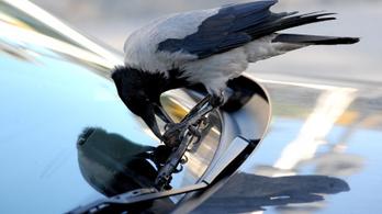 Védett madarak fiókáit pusztítja a dolmányos varjú