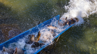 Uniós oltalmat kapott a balatoni hal
